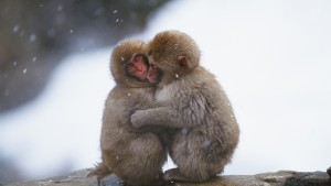 Monkeys-embrace-heating-in-the-cold-winter_1920x1080